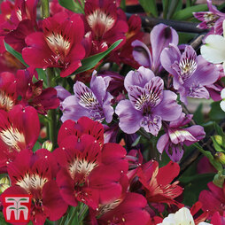 Alstroemeria Everest Duo