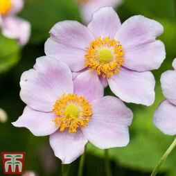 Anemone x hybrida 'Robustissima'