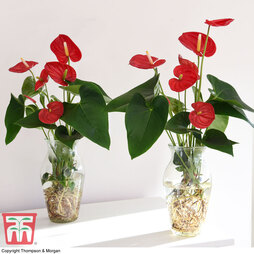 Anthurium Aqua Red in Vase (House Plant)