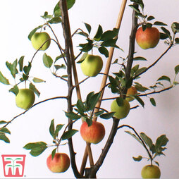 Apple Duo Patio Fruit Trees