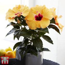 Hibiscus rosa-sinensis 'Hibisqs Apricot' (House Plant)