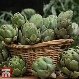 Globe Artichoke 'Green Globe Improved' F1 Hybrid
