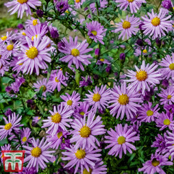Aster 'Barbados' (Island Series)
