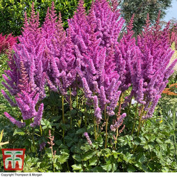 Astilbe chinensis 'Pearl' Collection