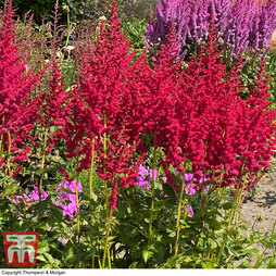 Astilbe chinensis 'Hot Pearls'
