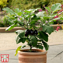 Aubergine 'Patio Baby'