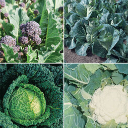 Autumn Planting Brassica Collection