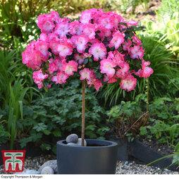 Rhododendron 'Bicolour' (Evergreen Series) (Standard)