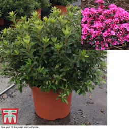 Rhododendron 'Rustica Pink' (Azalea Group)