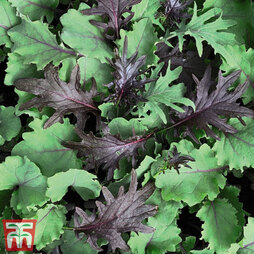Kale 'Babyleaf Mix'