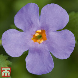 Bacopa 'Baristo® Blue'