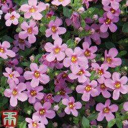 Bacopa 'Baristo® Pink'