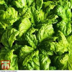 Basil 'Lettuce Leaf'