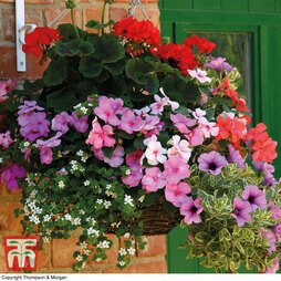 Summer Colour Nurseryman's Choice Hanging Basket Collection