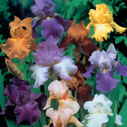 Bearded Iris 'Breeder's Mix'