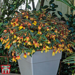 Begonia 'Groovy Mellow Yellow'