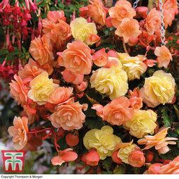 Begonia 'Fragrant Falls' Duo