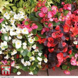 Begonia semperflorens 'Sun Shade Mix' F2 Hybrid