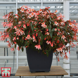 Begonia 'Waterfalls Bicolour'