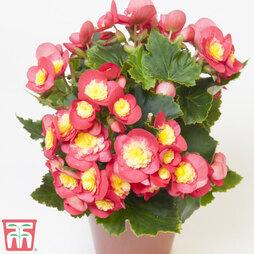 Begonia elatior 'Valentino Pink'