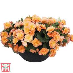 Begonia 'Sunpleasures® Apricot'