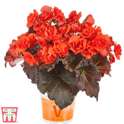 Begonia 'Sunpleasures® Choco Orange'