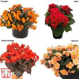 Begonia 'Sunpleasures®' Collection