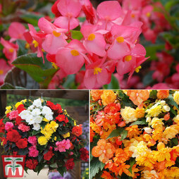 Ultimate Summer Begonia Collection