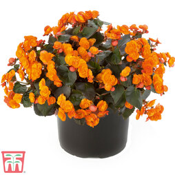 Begonia 'Sunpleasures® Orange'