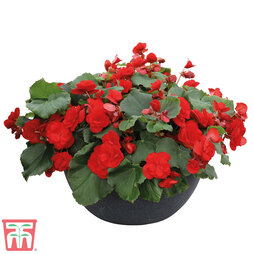 Begonia 'Sunpleasures® Red'