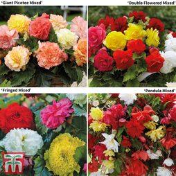 Begonia Bumper Pack