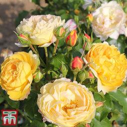Rose 'Belle du Jour'