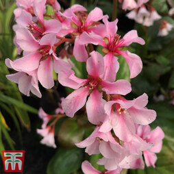 Bergenia 'Pink Ice'