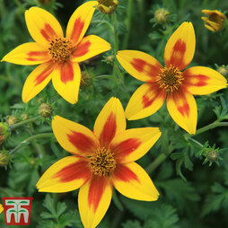 Bidens 'Hawaiian Flare Yellow Red Star'