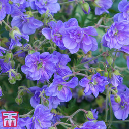 Geranium himalayense 'Birch Double'