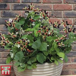 Blackberry 'Coolaris Patio' (Patio fruit)