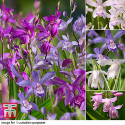 Nurserymans Choice Bletilla Collection