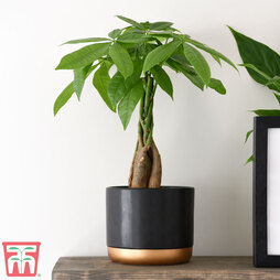 Pachira aquatica Tree with Braided Stem (House plant)