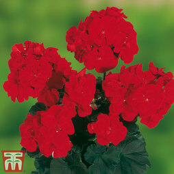 Geranium 'Grandeur® Dark Bright Red'