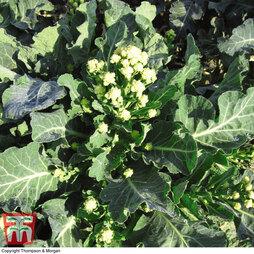 Broccoli 'Burbank' F1 Hybrid (White Sprouting)
