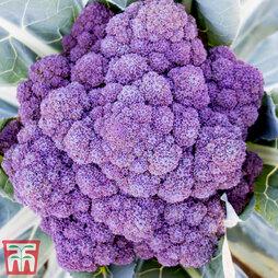 Broccoli 'Jacaranda'