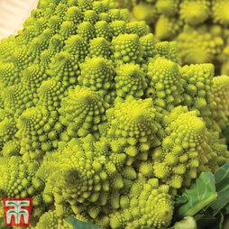 Cauliflower Romanesco Continuity Collection