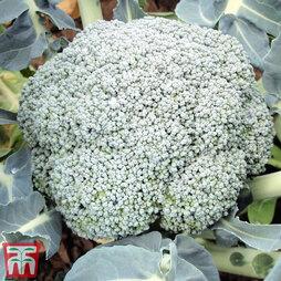 Broccoli 'Stromboli' (Calabrese)