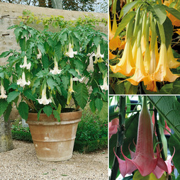 Brugmansia suaveolens 'Double Fragrant Collection'