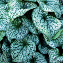 Brunnera 'Alexander's Great'