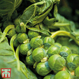 Brussels Sprout 'Bedford Fillbasket'