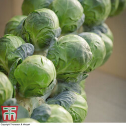 Brussels Sprout 'Marte' F1 Hybrid