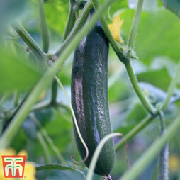 Cucumber 'Burpless Tasty Green' F1 Hybrid
