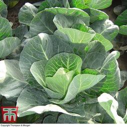 Cabbage 'Winter Jewel'