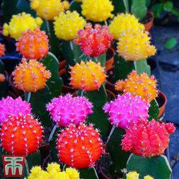 Coloured Cactus Mix (House Plant)